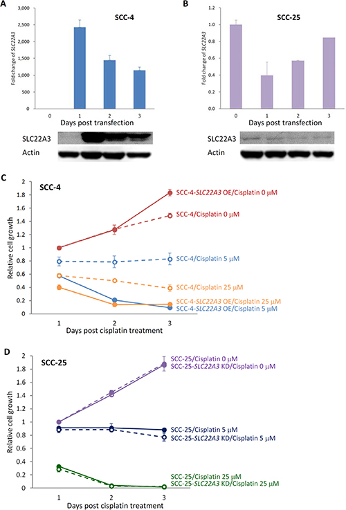 Cytotoxic effect of cisplatin was enhanced by SLC22A3 overexpression.