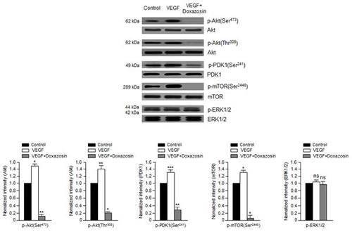 Doxazosin suppresses VEGF-dependent Akt, PDK1, and mTOR phosphorylation.