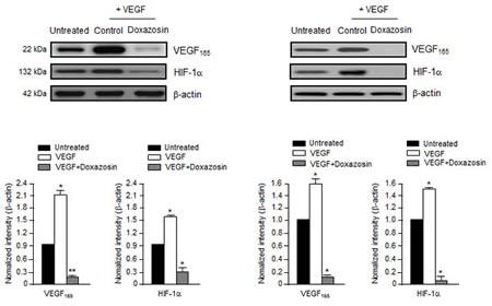 Doxazosin inhibits VEGF-induced HIF-1α and VEGF.
