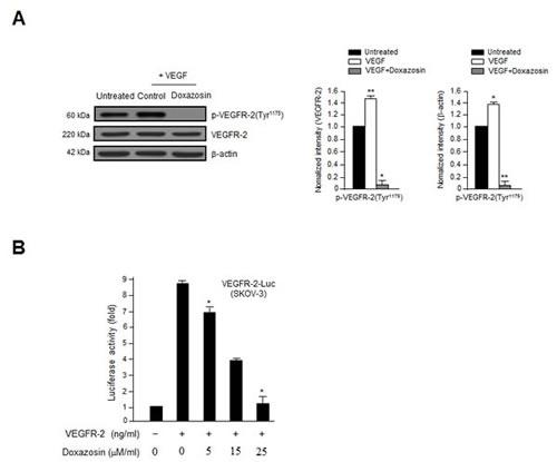 Doxazosin inhibits VEGF-induced VEGFR-2 phosphorylation and VEGFR-2-dependent transcription.
