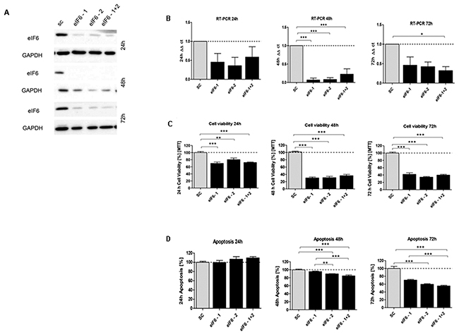 In vitro characterization of eIF6 knockdown effect in HCT116 cells.