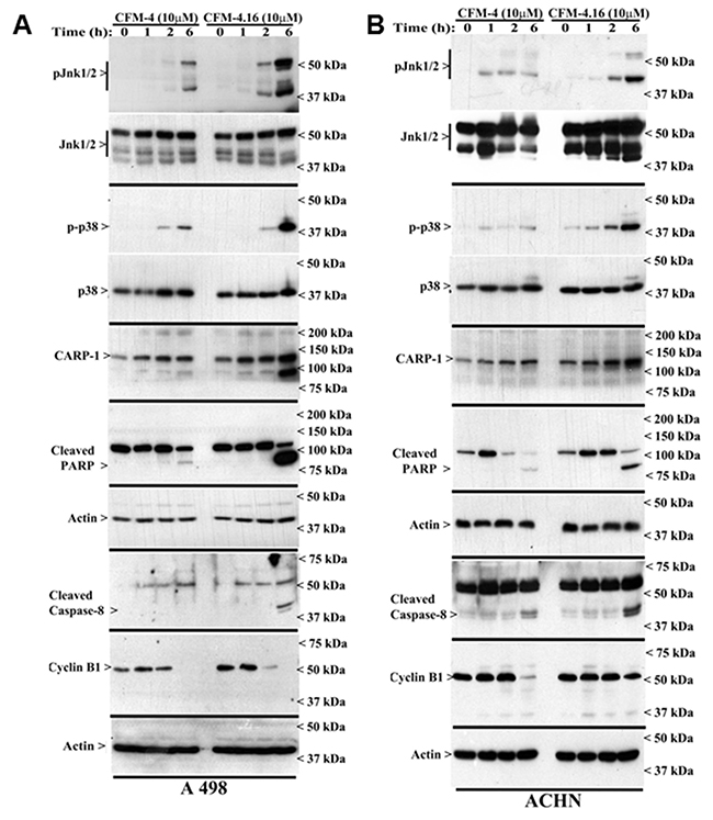 CFM-4. 16 stimulates apoptosis in parental and Everolimus-resistant RCC cells in part by upregulating pro-apoptotic CARP-1 and activating SAPKs.