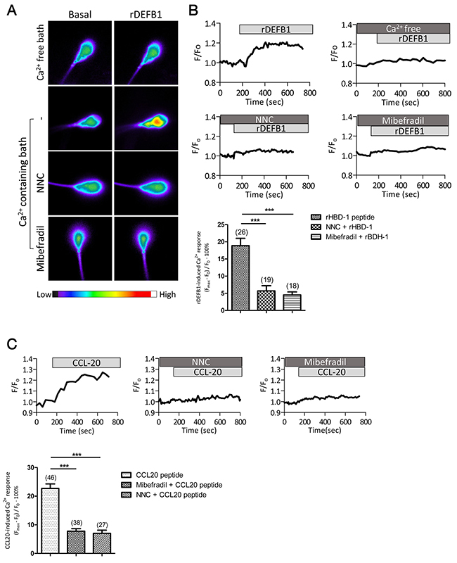 DEFB1-induced Ca2+ influx in human sperm depends on both CCR6 receptor and CatSper channel.