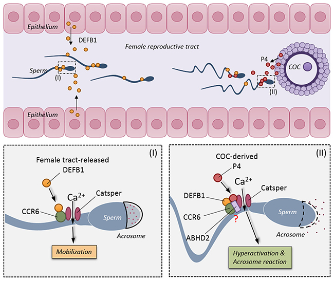 Schematic diagram showing the physiological roles of CCR6 receptor and CatSper channel in sperm.