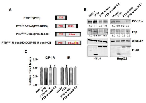Generation of the engineered ubiquitin ligase.