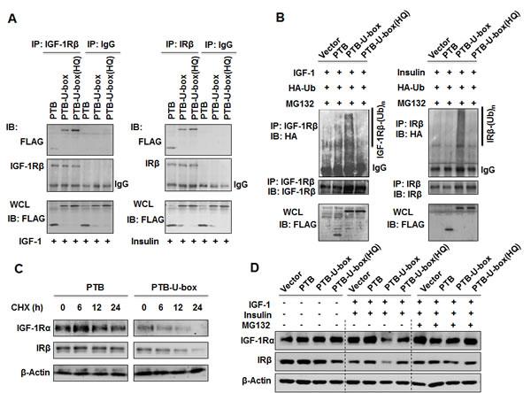 Engineered ubiquitin ligases promote the ubiquitination and degradation of IGF-1R and IR.