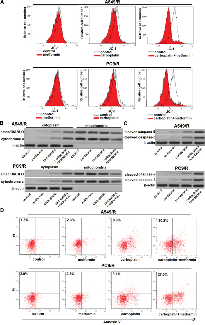 Metformin promotes carboplatin-induced apoptosis through the mitochondria pathway.