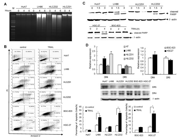 The cytotoxic effect of TRAIL on human HCC and GC cell lines.