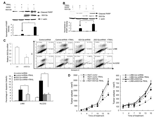 ISG12a regulates the sensitivity of cancer cells to TRAIL treatment