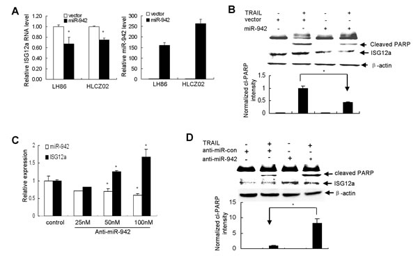 MiR-942 modulates the sensitivity of cancer cells to TRAIL-induced apoptosis by targeting ISG12a.