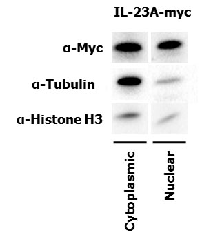 Immunoblot showing both nuclear and cytoplasmic fractions for IL-23p19 (IL-23A) and appropriate controls.