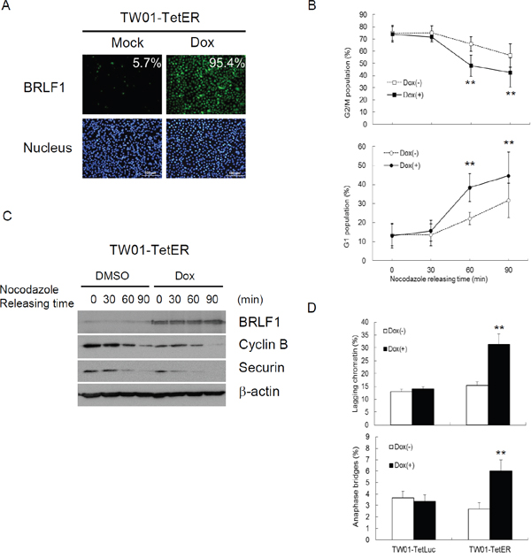 BRLF1 accelerates the process of mitosis in NPC cells.