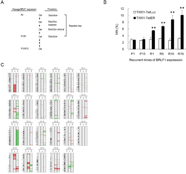 Recurrent BRLF1 expression leads to significant accumulation of genomic instability.