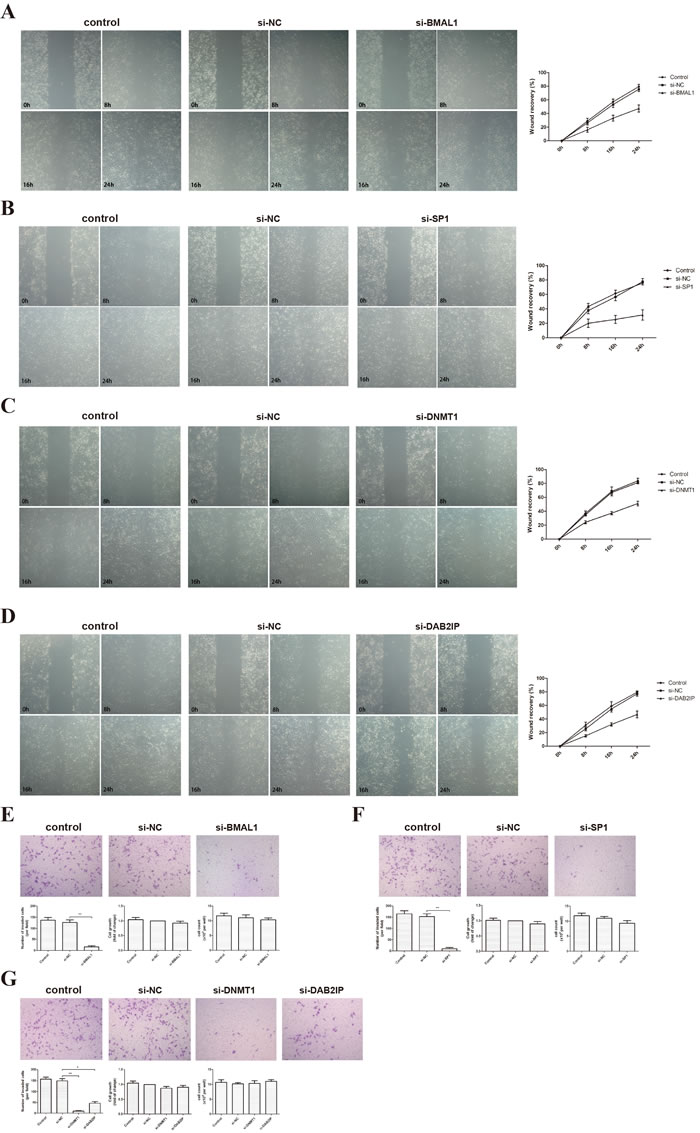 BMAL1, SP1, DNMT1 and DAB2IP induced migration and invasion of HTR-8/SVneo cells.