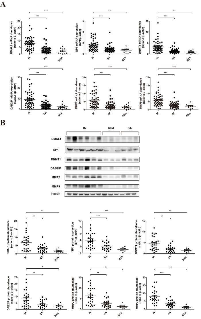 The decreased expression of BMAL1 in human villous specimens of RSA was consistent with SP1, DNMT1, DAB2IP, MMP2 and MMP9.