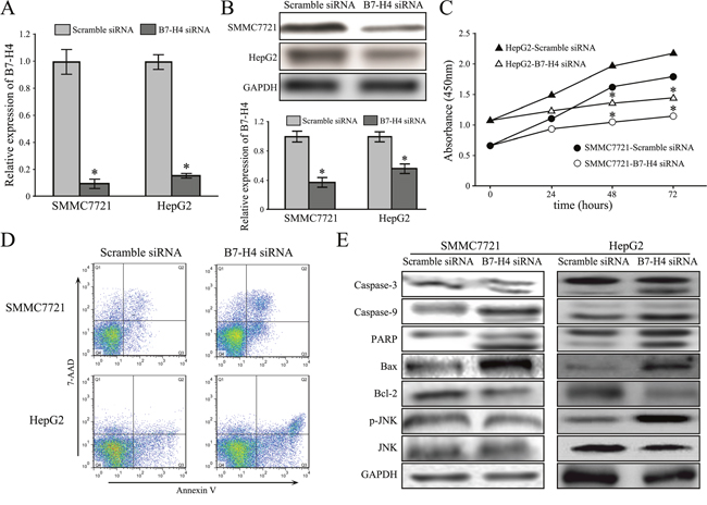 Downregulation of B7-H4 suppresses cell growth and apoptosis in HCC cells.