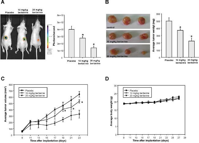 The anti-tumor effect of berberine in vivo.