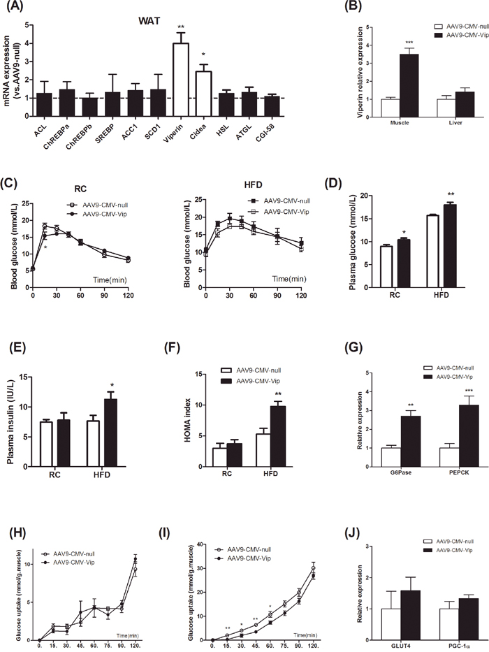 Forced expression of viperin activated gluconeogenesis and reduced glucose uptake in skeletal muscle.