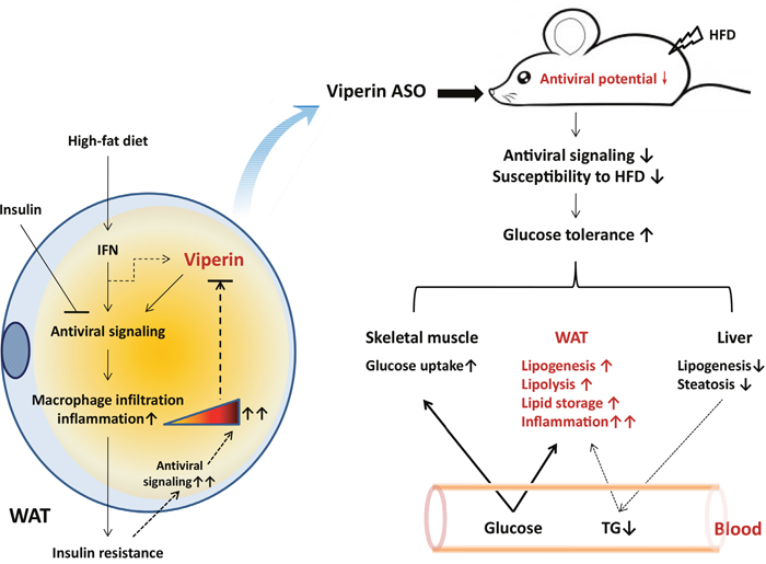 Proposed model for the role of viperin in regulating glucose homeostasis.