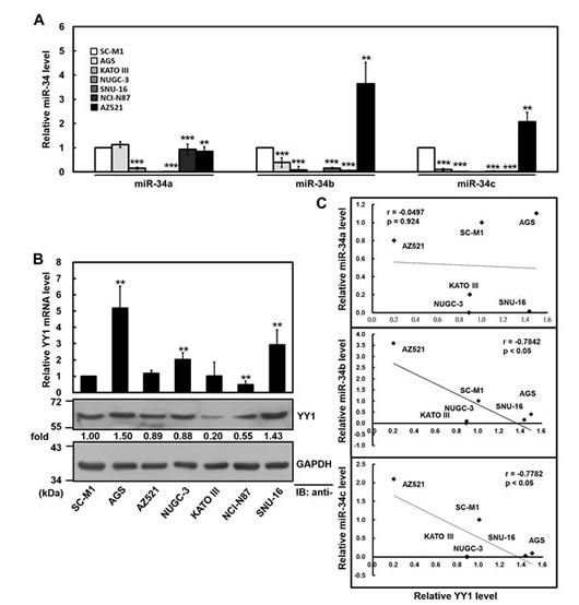 Negative correlation between YY1 and miR-34 family levels in gastric cancer cells.