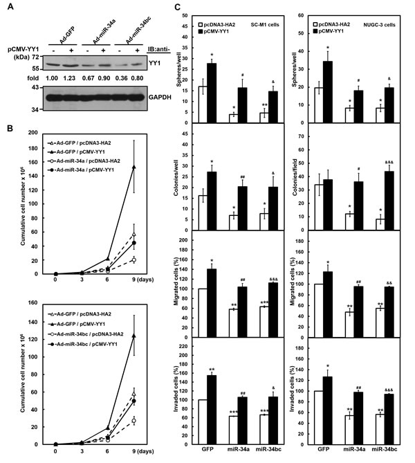 Exogenous YY1 restores gastric carcinogenesis suppressed by miR-34 family.