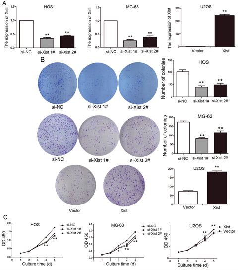 Xist regulates OS cell proliferation in vitro.