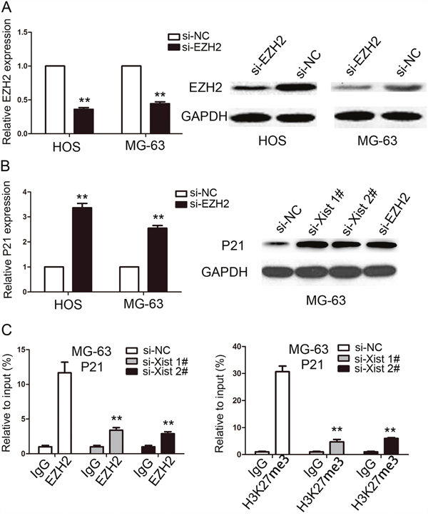 Xist epigenetically regulated the expression of P21 and thus mediated OS cell proliferation.