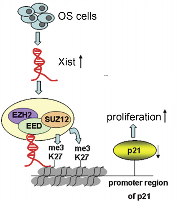 Xist, via EZH2/H3K27me3, is involved in proliferation of OS cells.