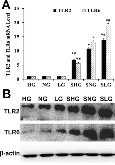 Effect of Se on TLR2 and TLR6 expression in mammary tissues from S. aureus-infected mastitis model mice.