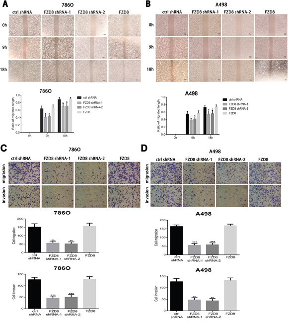 FZD8 promotes RCC cells migration and invasion in vitro.