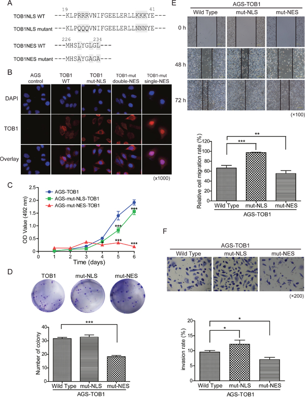 The effects of TOB1 nuclear localization mutants on the malignant potential of AGS cells.