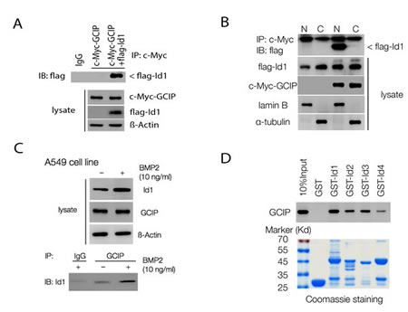 GCIP interacts with Id proteins