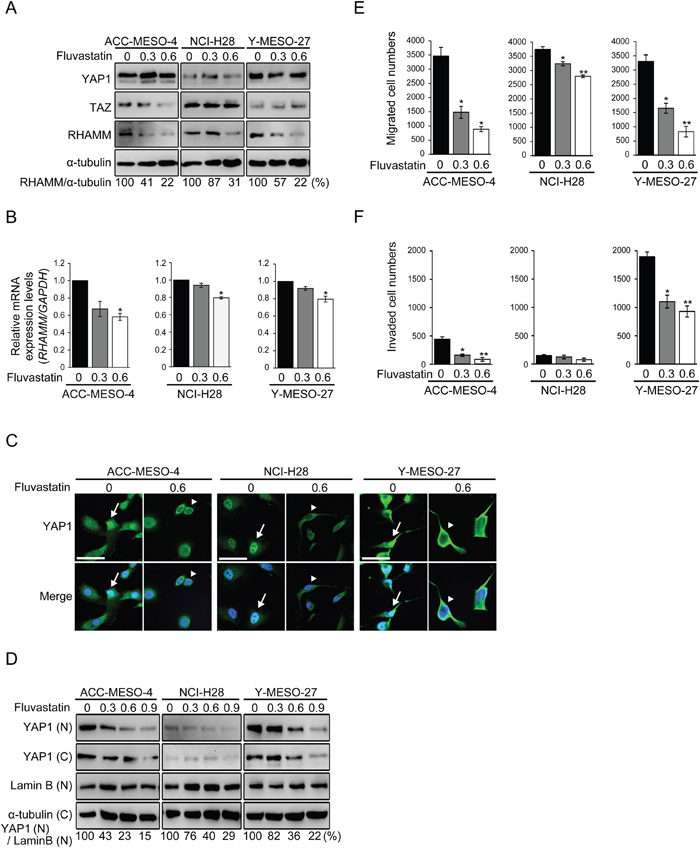 Statin treatment decreases RHAMM-dependent cell migration and invasion via YAP1/TAZ regulation in MPM cell lines.
