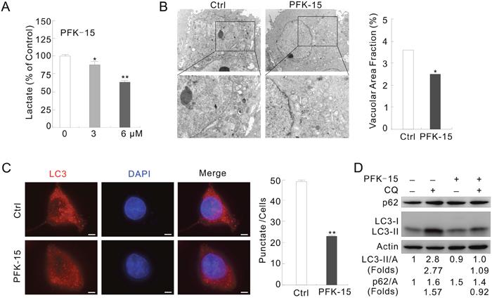 PFKFB3 inhibitor PFK-15 reduces autophagy in ACHN cells.
