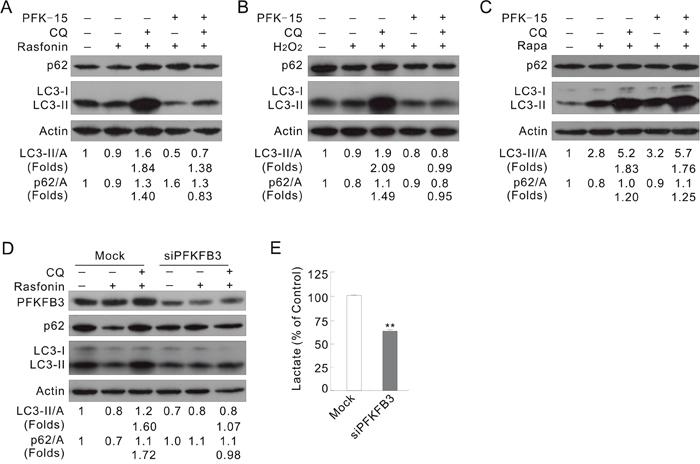 Inhibition of PFKFB3 attenuates the rasfonin-induced autophagy.