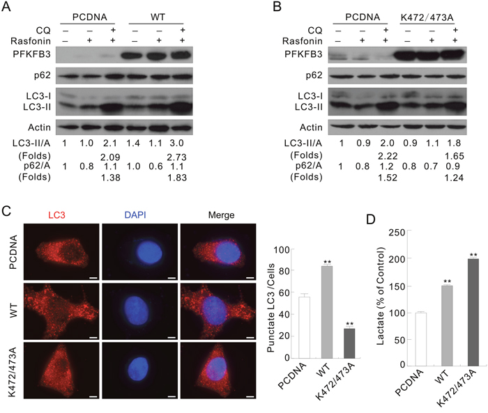 The WT and K472/473A mutated PFKFB3s play different roles in regulating autophagy.
