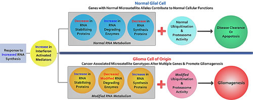 The potential contributions of cancer-associated microsatellite variants to gliomagenesis: Briefly outlined is a model to explain MST driven gliomagenesis.