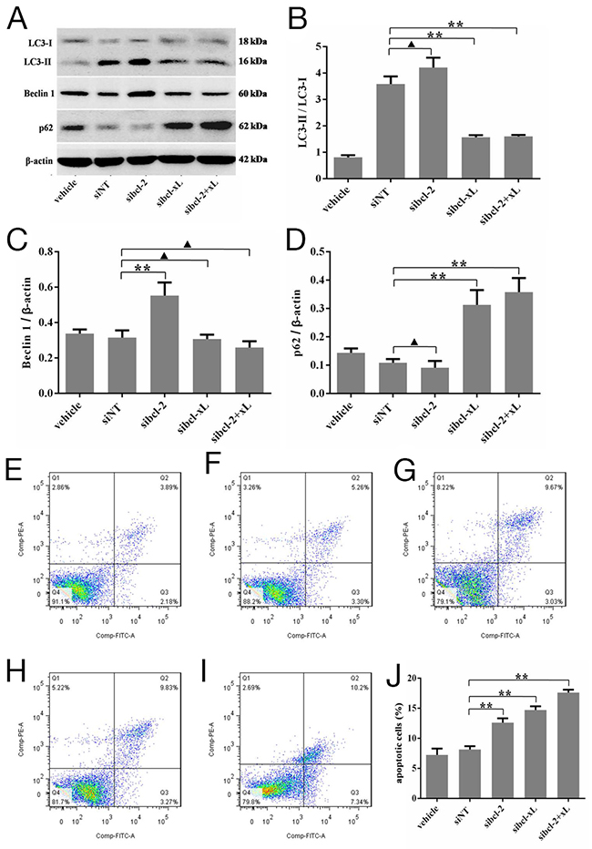 Silencing for Bcl-xL inhibited the autophagic capacity in HSFs, and promoted the apoptosis of HSFs.