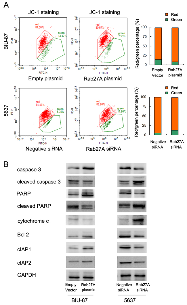 Rab27A regulates mitochondrial membrane potential and apoptosis related proteins.
