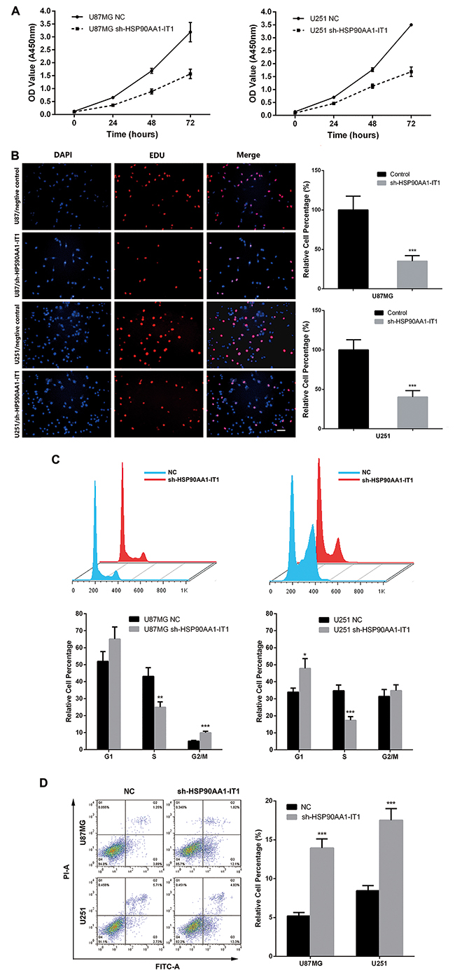 Effects of HSP90AA1-IT1 on the viability of the glioma cells.