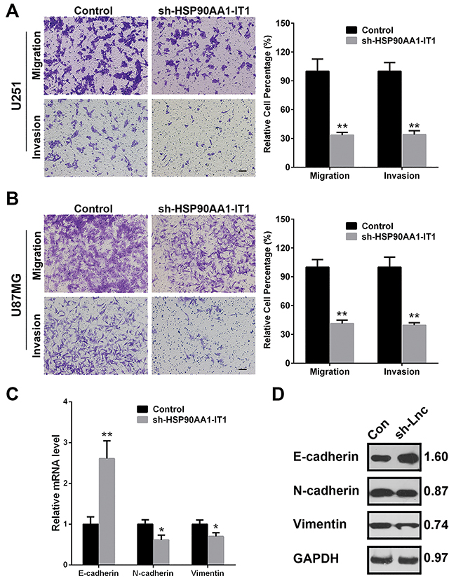 Effects of HSP90AA1-IT1 on the migration/invasion of the glioma cells.