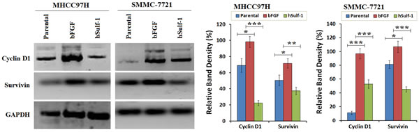 Downegulation of Cyclin D1 and Survivin by hSulf-1 in HCC cells.
