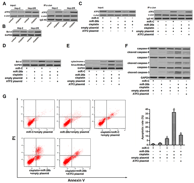 miR-26b promoted mitochondrial apoptosis in cisplatin-treated Hep-2/R.