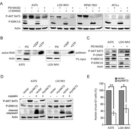 Activated AKT pathway mediates the protective effect of MEK inhibition .