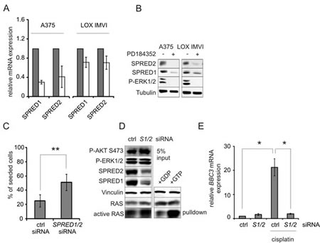Downregulation of SPRED1/2 mimicks the effect of MEK inhibitor on PUMA and apoptosis resistance