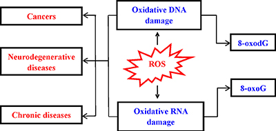 Consequence of ROS-induced nucleic acids damage.