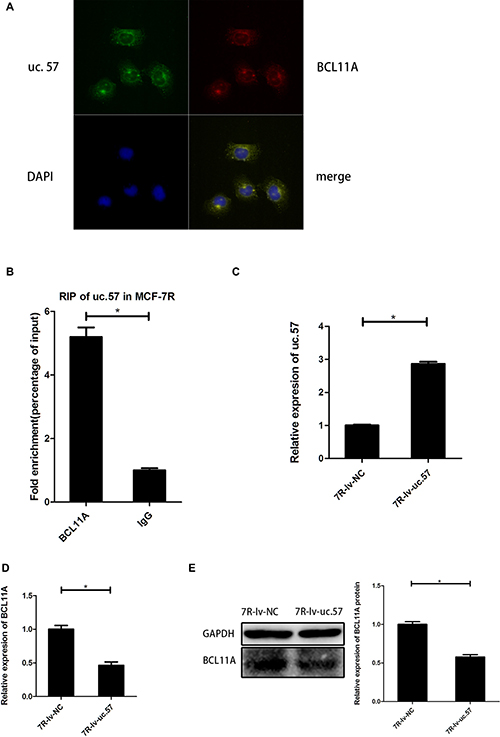 Uc.57 negatively regulates BCL11A expression in MCF-7R cells.