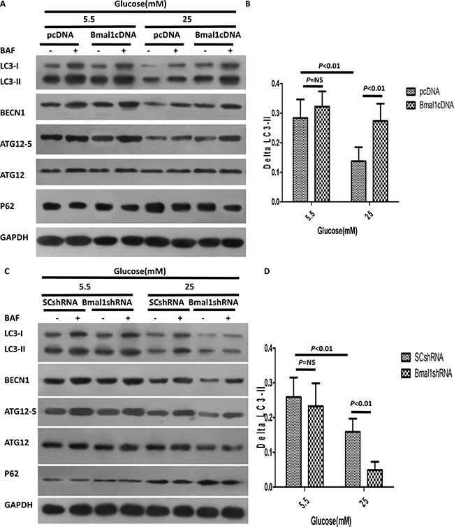 Altered Bmal1 expression affects high-glucose-induced inhibition of autophagy.