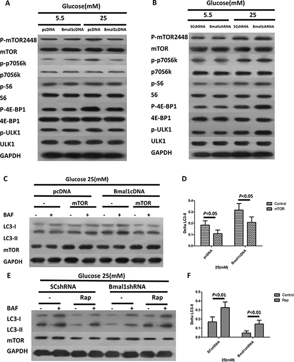 The clock gene Bmal1 induces autophagy by activation of mTORC1 signaling pathway.