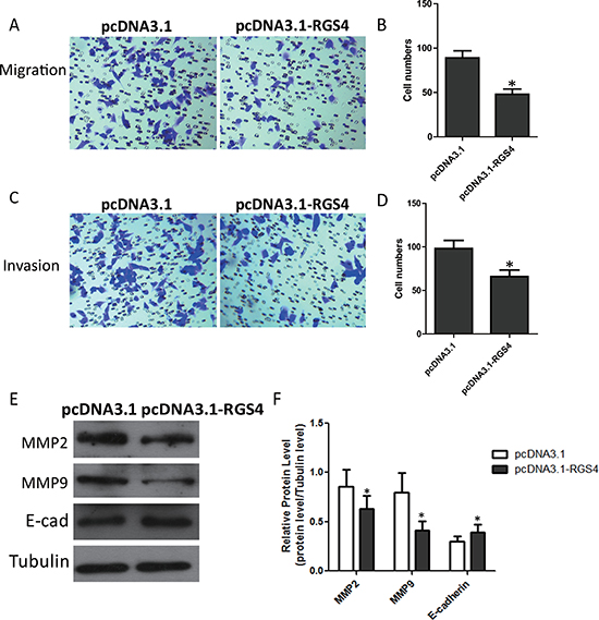 Overexpression of RGS4 inhibits melanoma cell migration and invasion.